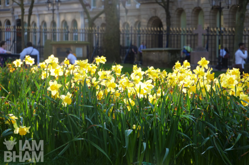 Daffodils bathed in sunlight in Cathedral Square in Birmingham