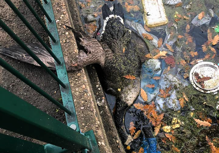 Shock as dead geese found in filthy lake at Small Heath Park